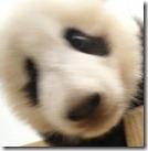 パンダアップデートの更新近し!!パンダに好かれるコンテンツとは!?